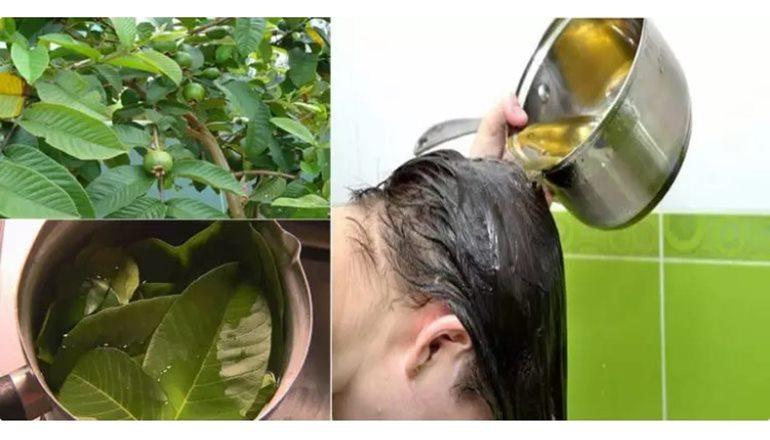 Folha da goiaba acaba com a queda de cabelo e estimula o crescimento dos fios